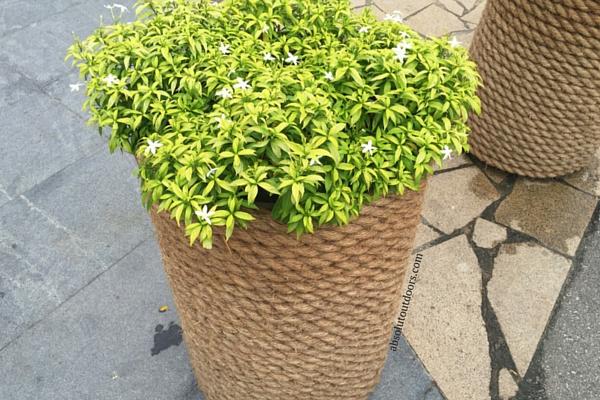 Pretty Jasmine Blooms