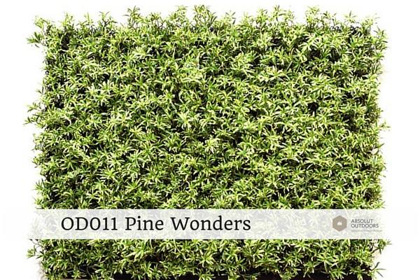 OD011-Pine-Wonders1