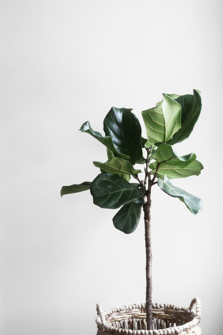 Big Ficus